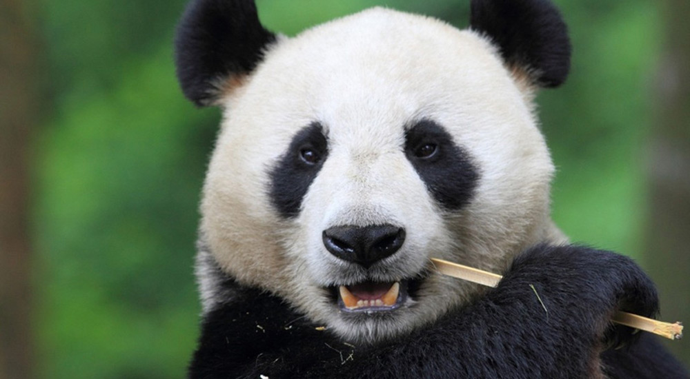 Save Panda